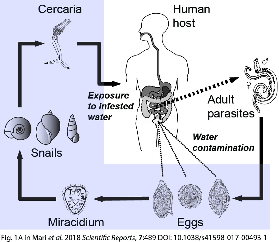 Schistosoma life cycle